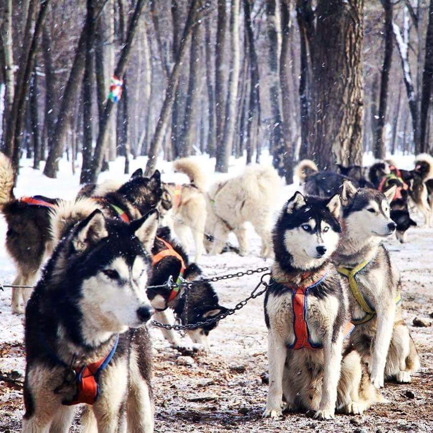 DOG SLEDDING SEASON OPENING TOUR BY EXPAT ADVENTURE TRAVEL